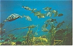 Silver Springs, FL, Turtles and Fish Postcard