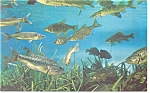 Silver Springs, FL, Variety of  Fish Postcard