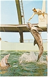 Click here to enlarge image and see more about item p8002: Marineland, FL, Feeding the Pilot Whale Postcard