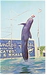 Click here to enlarge image and see more about item p8007: Marineland, FL, Trained Whale Jumps Postcard