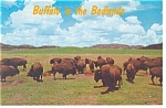 Buffalo in Badlands National Park Postcard