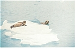 Click here to enlarge image and see more about item p8043: Hair Seals at Upper Muir Inlet, AK Postcard p8043