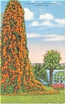 Flame Vine , Florida Postcard