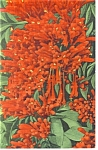 Flame Vine , Florida, Closeup Postcard