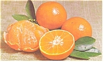 Florida Temple Oranges Postcard