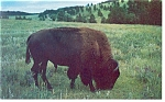 Click here to enlarge image and see more about item p8772: Buffalo at Custer State Park, SD Postcard
