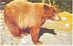 Click here to enlarge image and see more about item p8846a: American Black Bear Yosemite CA Postcard p8846a