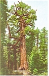 Click here to enlarge image and see more about item p8908: The Grizzly Giant  at Yosemite Postcard
