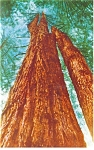 The Trinity Tree, Redwood Postcard