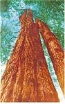 The Trinity Tree, Redwood Postcard
