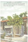 Riverside   CA  Mission Inn Orange Tree Postcard p8942