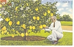 Click here to enlarge image and see more about item p9027: Ponderosa Lemon Tree Florida Linen Postcard p9027