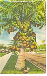 Coconut Palm in Tropical Florida Linen Postcard