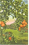 Click here to enlarge image and see more about item p9071: Orange Groves in Florida Linen Postcard p9071