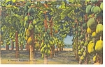 Papaya Plantation in Florida Linen Postcard