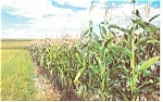 Click here to enlarge image and see more about item p9437: Tall Corn  Postcard