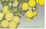 Click here to enlarge image and see more about item p9918: Florida Grapefruit and Blossoms Postcard p9918