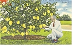 Click here to enlarge image and see more about item p9919a: Florida Ponderosa Lemon Tree Postcard