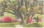 Charleston SC The Great Oak Hand Colored Postcard p9946
