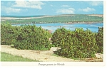 Click here to enlarge image and see more about item p9983: Orange Groves in Florida Postcard p9983