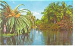 White Swans on a Florida Lake Postcard 1962