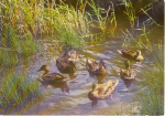Click here to enlarge image and see more about item u0136: Ducks Swimming German Postcard