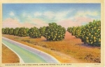 Texas Citrus Grove   Postcard