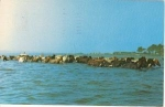 Click here to enlarge image and see more about item w0721: Assateague Island Ponies MD Postcard
