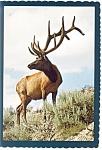 A Majestic Bull Elk Postcard