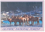 Elk Crossing the Hoh River Postcard w0829
